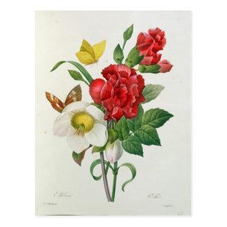 Christmas Rose, Helleborus niger Postcard