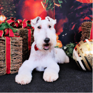 Christmas - Wire Fox Terrier - Dexter Acrylic Cut Outs