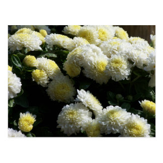 Chrysantemum Flowers Postcard