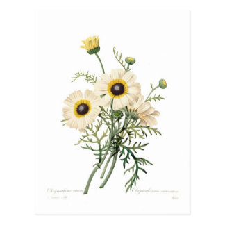 Chrysanthemum carinatum postcard