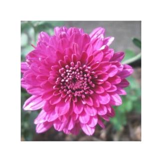 Chrysanthemum Dark Red Flower