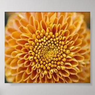 Chrysanthemum Grandiflorum Poster