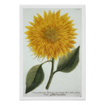 Chrysanthemum Indicum from 'Pythanthoza Iconograph Posters