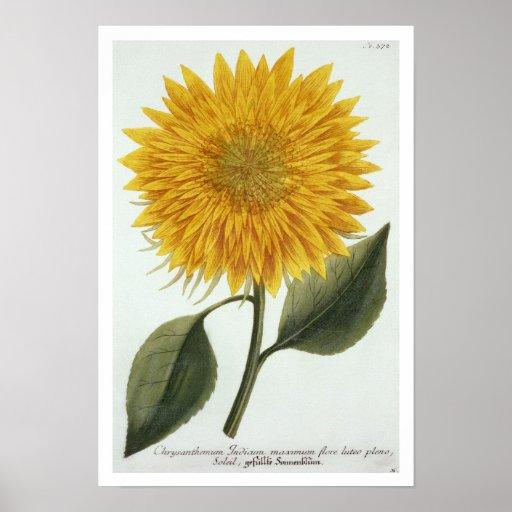 Chrysanthemum Indicum from 'Pythanthoza Iconograph Posters