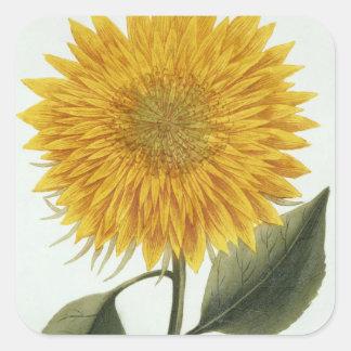 Chrysanthemum Indicum from 'Pythanthoza Iconograph Square Sticker