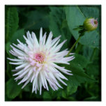 Chrysanthemum Japenese Garden - 8x8 TTV photograph Poster