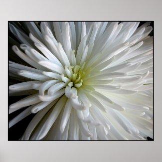 Chrysanthemum Petals print