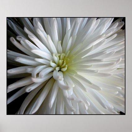 Chrysanthemum Petals Poster