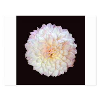 Chrysanthemum Postcards