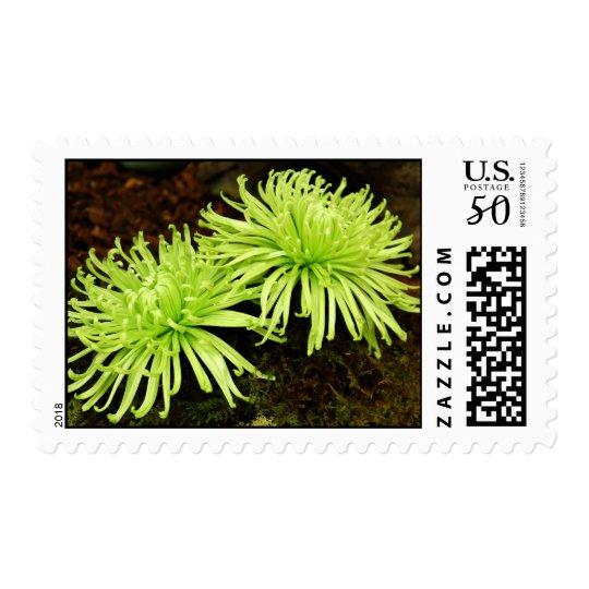 Chrysanthemum - Spider Mum Postage