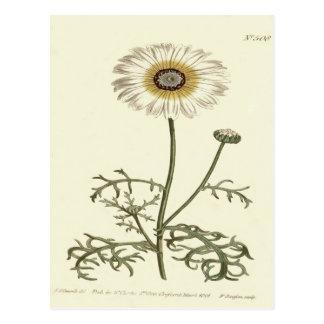 Chrysanthemum Tricolor Yellow Illustration Postcard