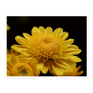 Chrysanths amarillo tarjetas postales