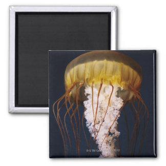 Chrysaora fuscescens,  Pacific Sea nettle 2 Inch Square Magnet