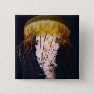 Chrysaora fuscescens,  Pacific Sea nettle Button