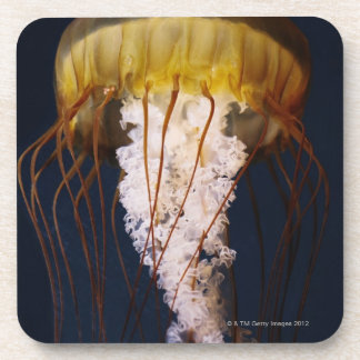 Chrysaora fuscescens,  Pacific Sea nettle Coaster