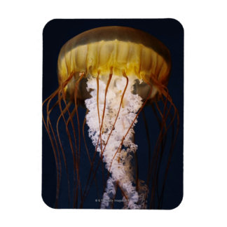 Chrysaora fuscescens,  Pacific Sea nettle Rectangular Photo Magnet