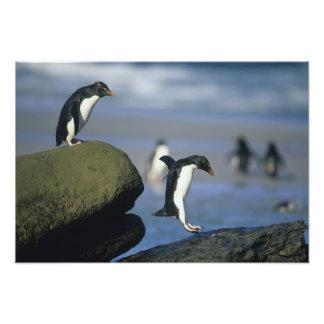 Chrysocome de los pingüinos, del Eudyptes de Rockh Fotografía