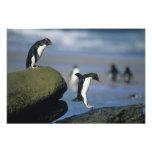 Chrysocome de los pingüinos, del Eudyptes de Rockh Impresiones Fotográficas