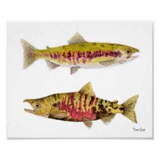 Chum Salmon Pair Art Poster
