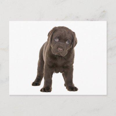 [Image: chunky_chocolate_labrador_puppy_postcard...li_400.jpg]