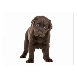 Chunky Chocolate Labrador Puppy Postcard