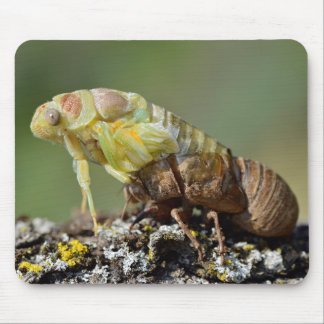 Cicada emerging from its exuvia mouse pad