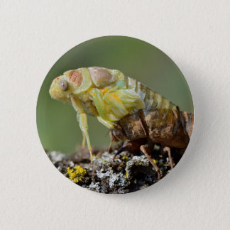 Cicada emerging from its exuvia pinback button