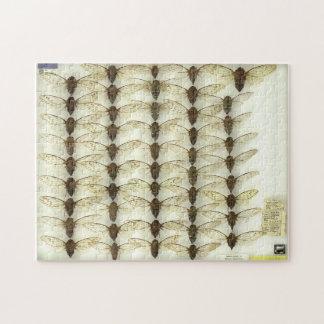Cicadas puzzle