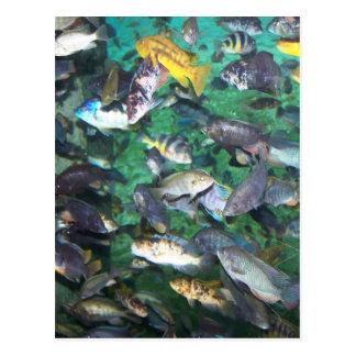 ¡Cichlids, cichlids, y más cichlids! ¡Pescados de Tarjeta Postal
