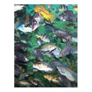 ¡Cichlids, cichlids, y más cichlids! ¡Pescados de Tarjetas Postales