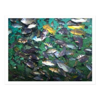 ¡Cichlids, cichlids, y más cichlids! ¡Pescados de Postal