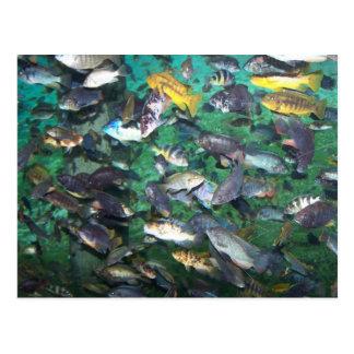 ¡Cichlids, cichlids, y más cichlids! ¡Pescados de Postales