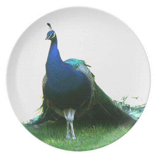 Cielo claro de la hierba azul del pavo real apenas platos de comidas