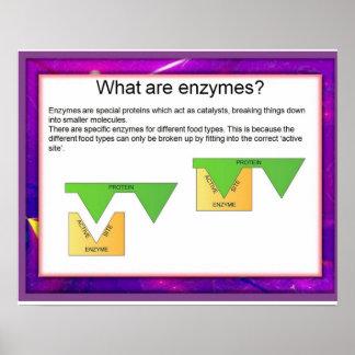 Ciencia, digestión, enzimas en el trabajo póster
