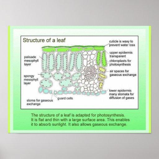 Ciencia, plantas, estructura de una hoja póster