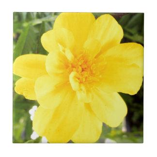 Cierre amarillo de la flor de la maravilla encima azulejo cuadrado pequeño