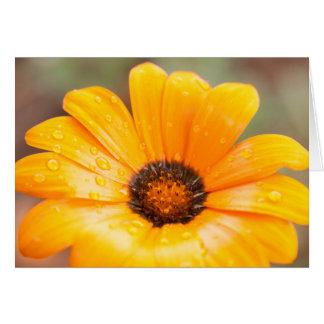 Cierre anaranjado de la margarita africana del tarjeta pequeña
