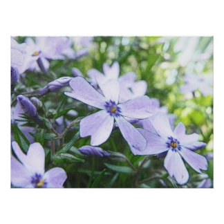 Cierre azul del Phlox del arrastramiento para arri Poster