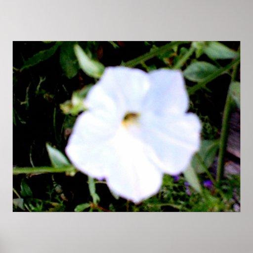 Cierre blanco de la petunia para arriba póster