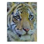 Cierre de Cub de tigre encima del retrato Postal