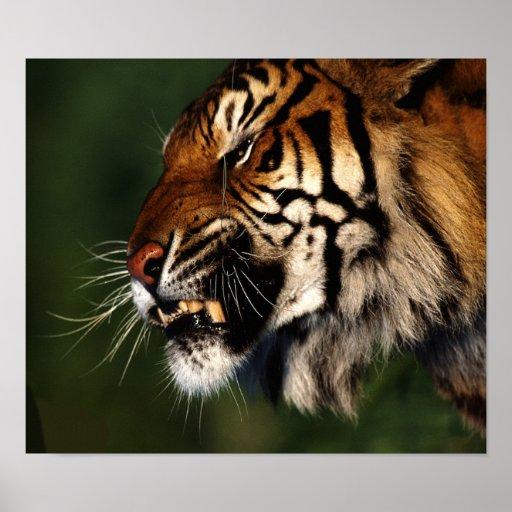 Cierre de la cabeza del tigre para arriba impresiones