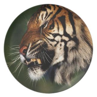 Cierre de la cabeza del tigre para arriba platos de comidas