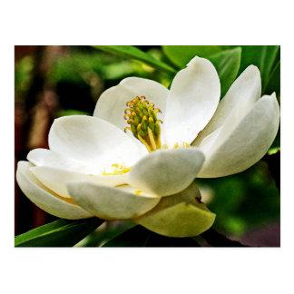 Cierre de la flor de la magnolia para arriba tarjetas postales