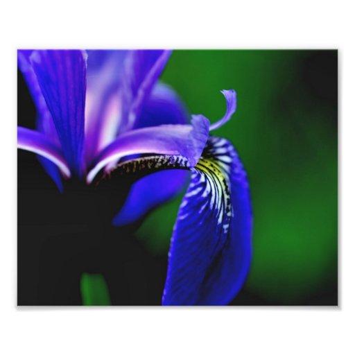 Cierre de la flor del pétalo 10x8 del iris de la b cojinete