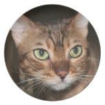 Cierre del gato de Bengala para arriba Plato De Comida