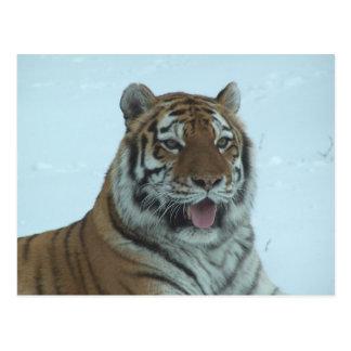 Cierre del tigre siberiano encima de la cara 2 postal