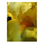Cierre hermoso del iris amarillo para arriba tarjetas postales