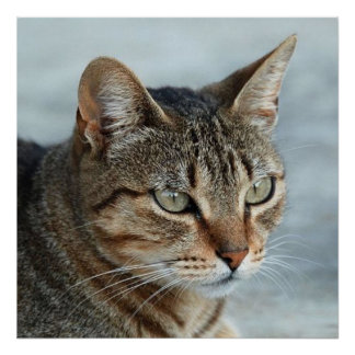 Cierre imponente del gato de Tabby encima del retr Posters