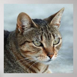 Cierre imponente del gato de Tabby encima del retr Póster