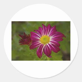 Cierre púrpura de la flor del aster para arriba pegatina redonda